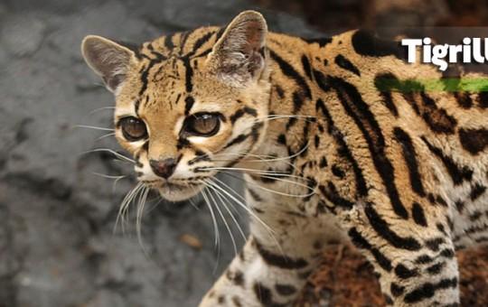 leopardomargay