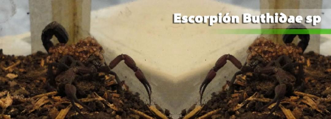 Escorpión Buthidae sp