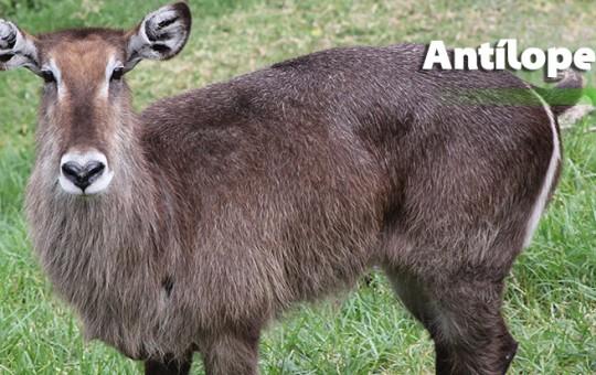 antilope-acuatico