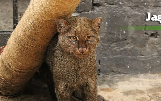 jaguaroundi
