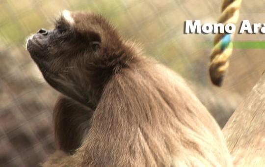 mono-arana-pardo