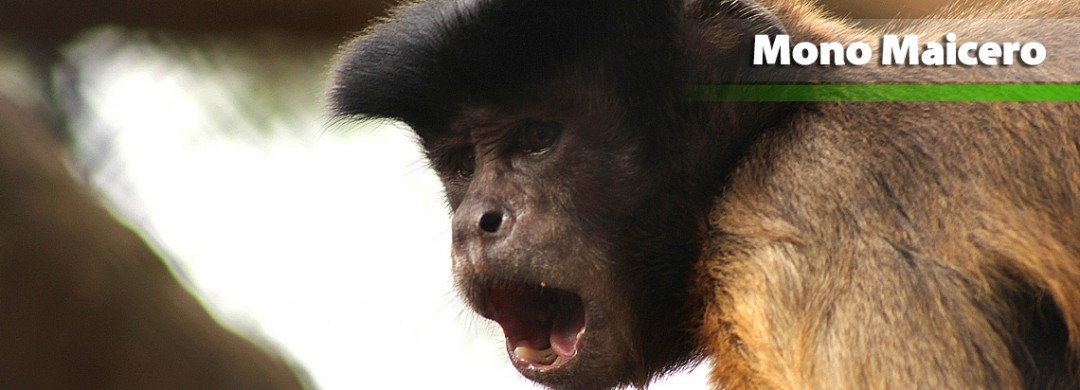 Mono Maicero