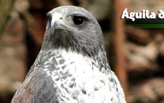 Aguila_paramo