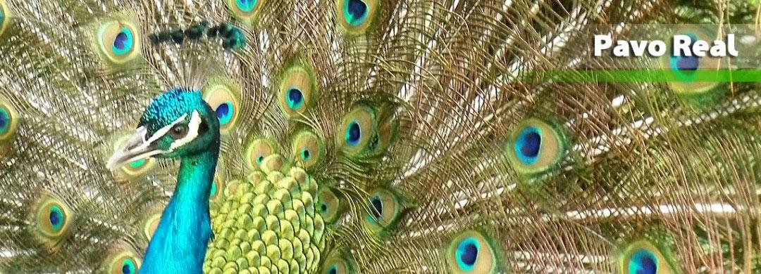 Zool gico santacruz pavo real - Fotos de un pavo real ...