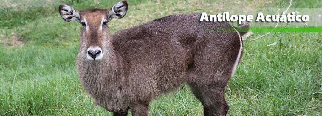 Antílope Acuático