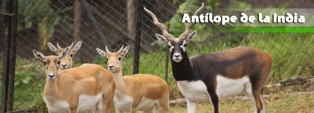Antílope de la India