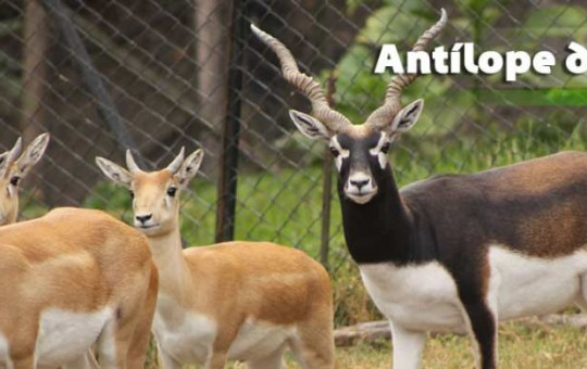 antilope_1