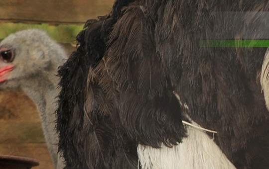 avestruz-1080x390_2