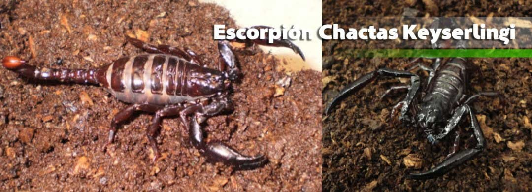 Escorpión Chactas Keyserlingi