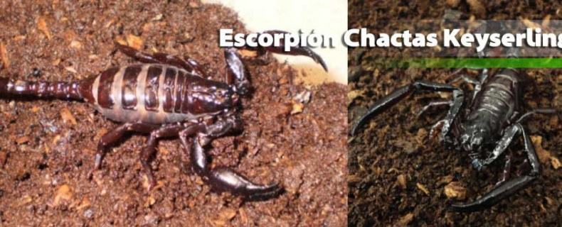 Escorpión Chactas Keyserlingi