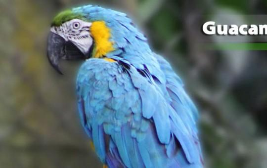 guacamaya-azul-1080x390_2