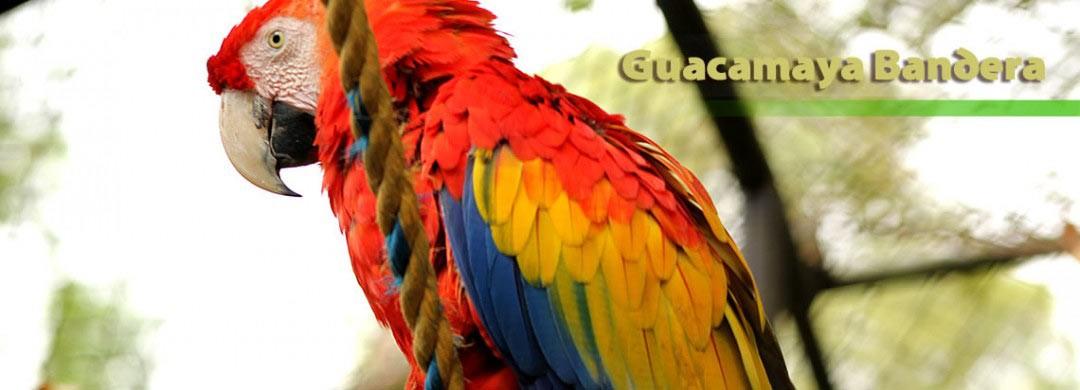Guacamaya Bandera