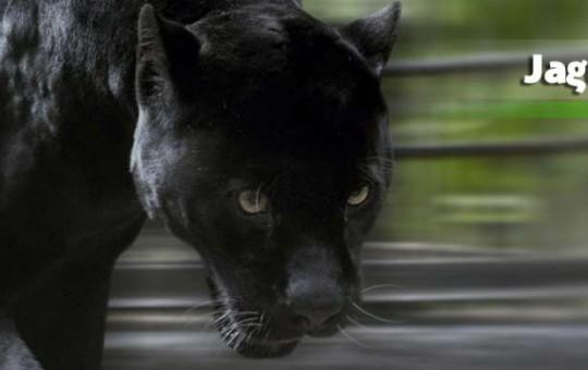 jaguar-negro_2