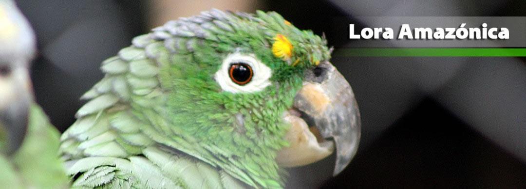 Lora Amazónica