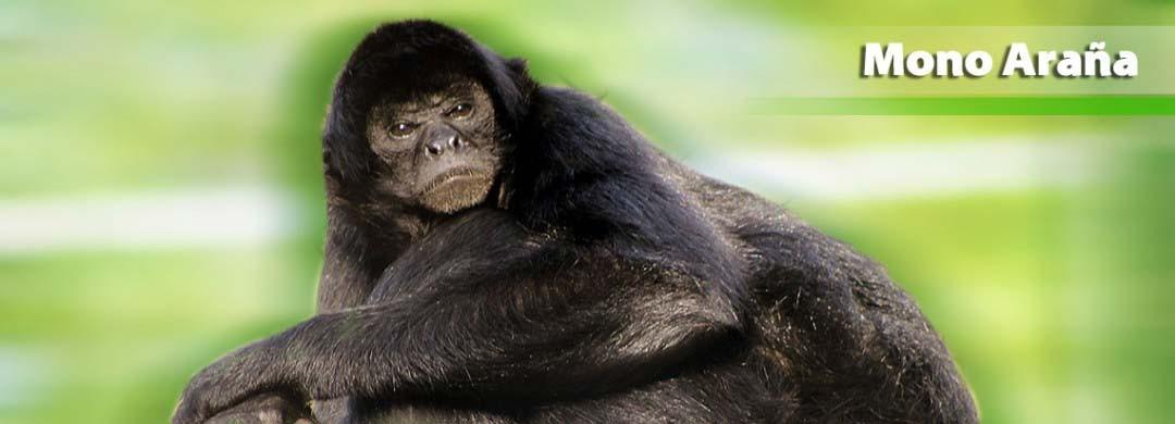 Mono Araña Negro