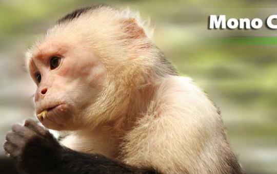 mono-capuchino-1080x390_1