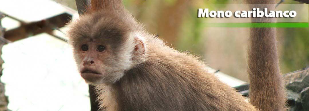 Zoológico Santacruz | Mono Capuchino