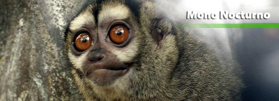 Mono Nocturno