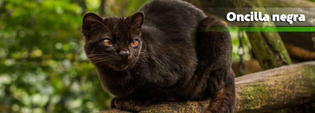Tigrillo Oncilla Negro