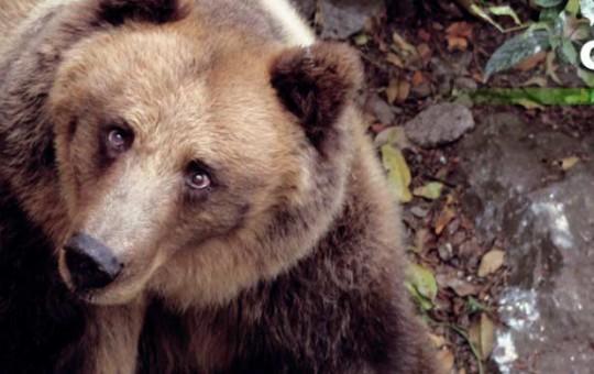 oso-pardo_2