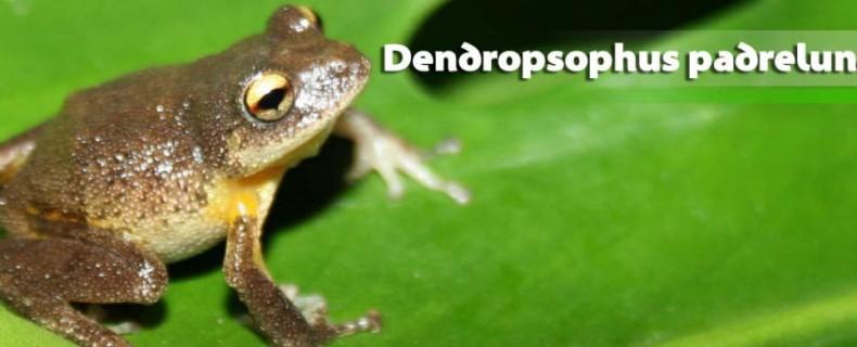 Dendropsophus padreluna
