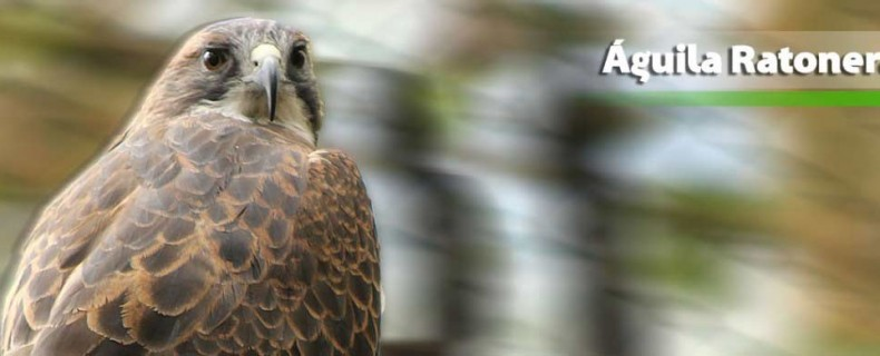 Águila Ratonera