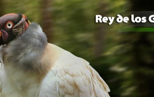 rey-gallinazos-1080x390_1