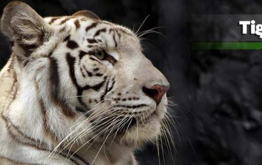 tigre-blanco_2