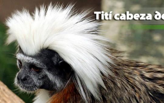 titi-cabeza-algodon-1080x390_1