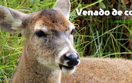 venado_cola-_blanca_1